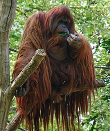 220px-Orangutan_-Zoologischer_Garten_Berlin-8a